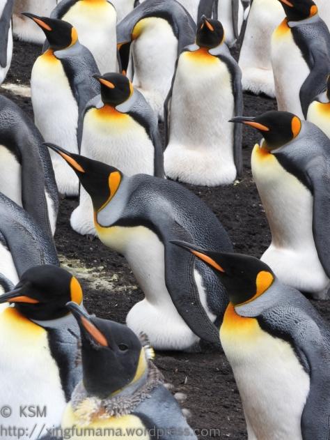 ksm-20170112-penguins-21