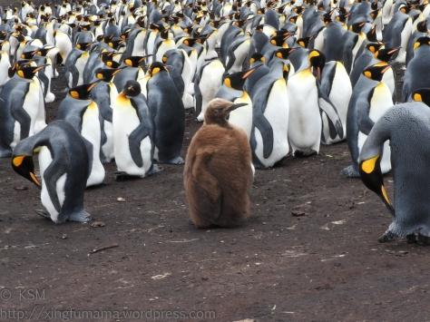 ksm-20170112-penguins-22