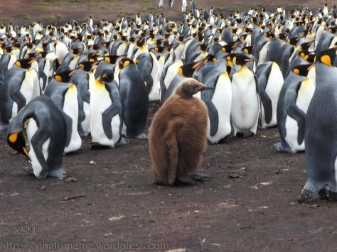 ksm-20170112-penguins-24