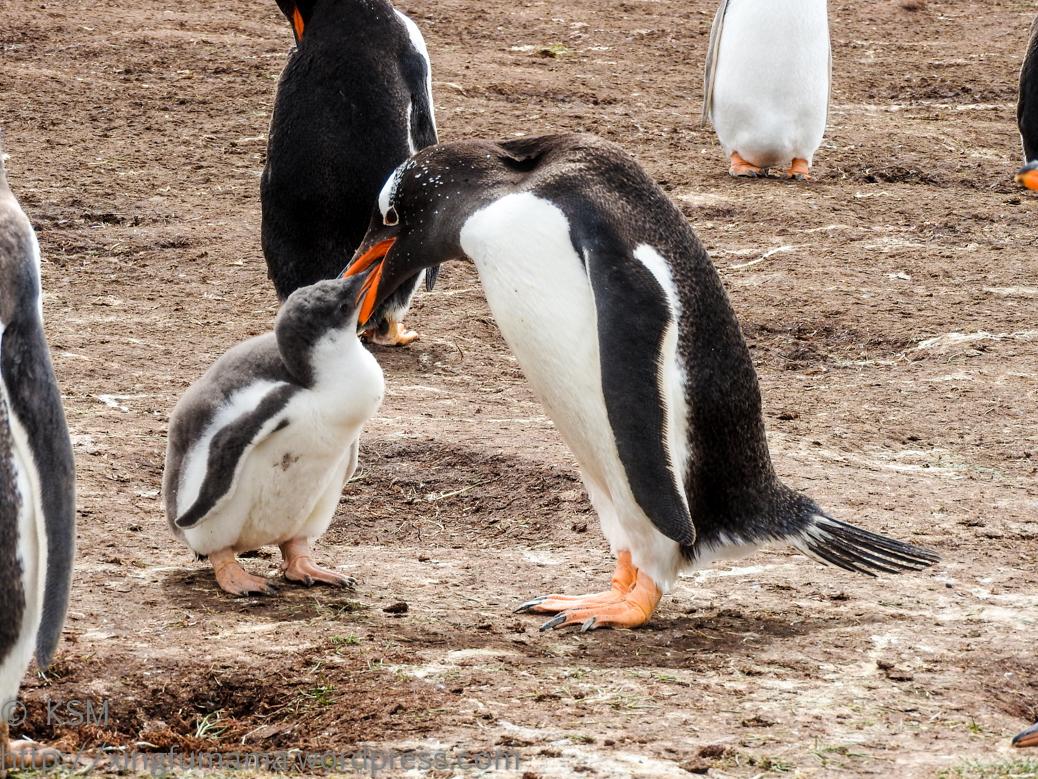 ksm-20170112-penguins-26