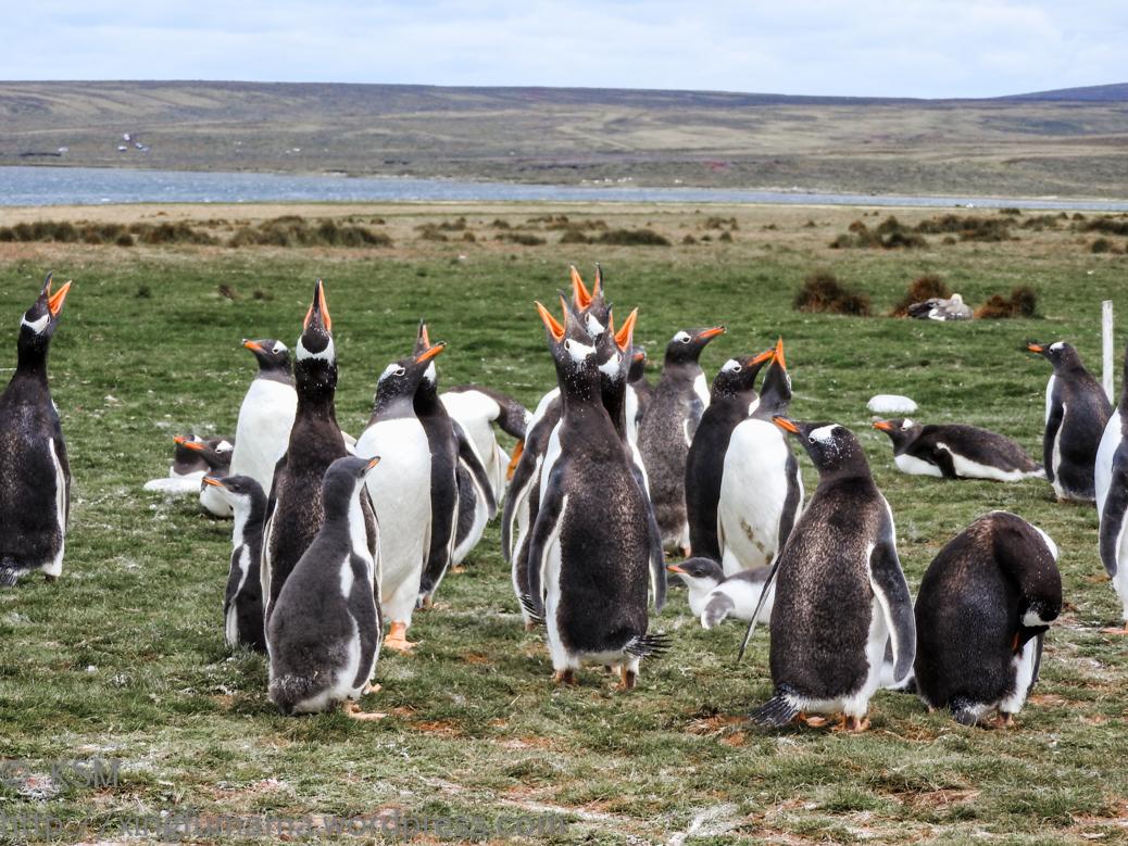 ksm-20170112-penguins-31