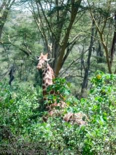 20110329-KSM-Giraffes