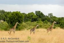 20120213-KSM-Giraffes-2