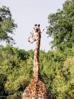 20120214-KSM-Giraffes-2