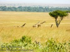 20120214-KSM-Giraffes
