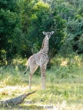 20120215-KSM-Giraffes-2