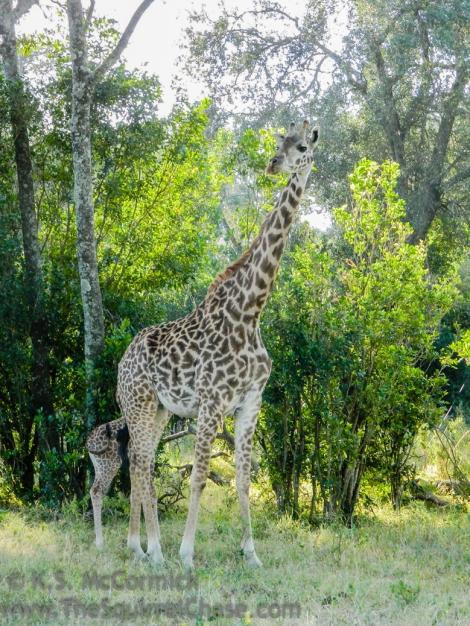 20120215-KSM-Giraffes-3