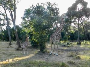 20120215-KSM-Giraffes