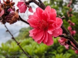 20170403-KSM-Peach_Blossom_Village-04