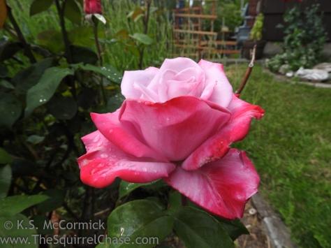 20170613-KSM-Rose-01