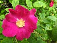 3-KSM-Nootka_Rose-{Date (YYYYMMDD)»}