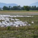 Snow geese in Skagit Valley