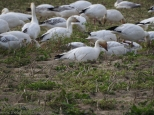 Snow geese in Skagit Valley
