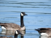 Canadian geese in Fern Cove on Vashon.