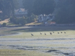 Heron appears to be leading the geese to the water.
