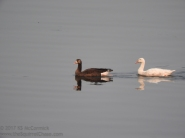 Black and white geese.