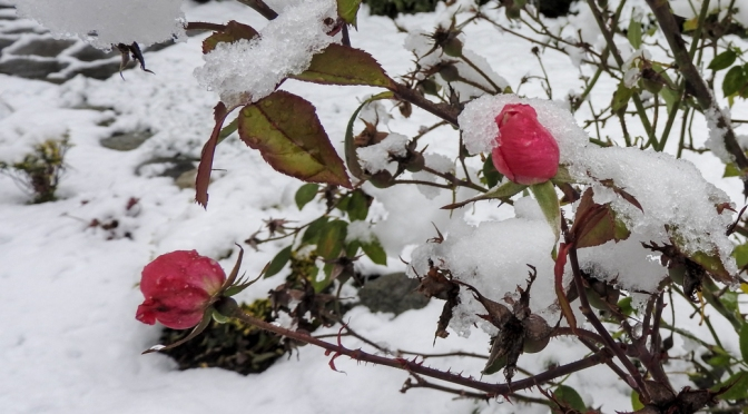 Bring me a rose in the winter time…