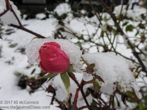 20171225-Rose_in_winter-02