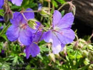 Johnson's Blue Geranium (Cranesbill)