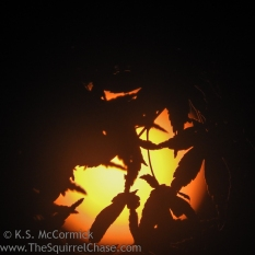 Mid-day sun through maple tree, using filter.