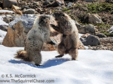 Wooly Marmots discussing territory.