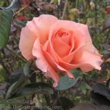 Rose illuminated by the fall morning sunlight.