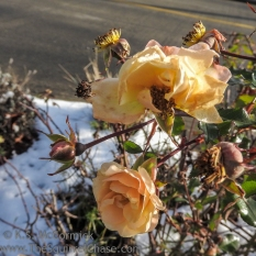 KSM-20171226-Rose-in-Winter-01