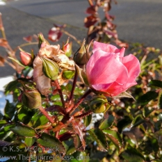 KSM-20171226-Rose-in-Winter-02