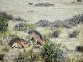 Mara, a.k.a., Patagonian Hare