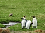 King penguins.