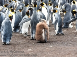 More King Penguins.