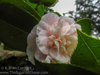 Pink Perfection Camelia