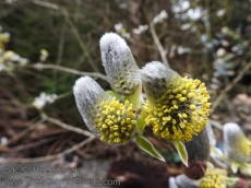 Pussy willow catkins as they start to bloom.