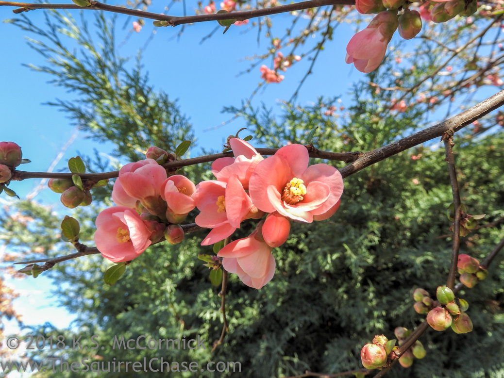 KSM-20180219-Flowering_Quince-02