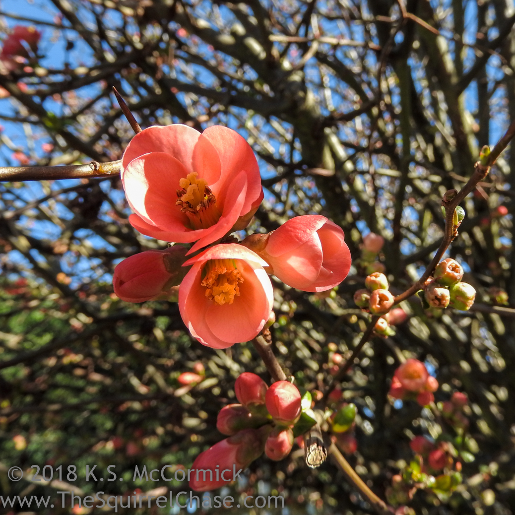 KSM-20180219-Flowering_Quince-03