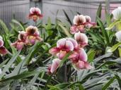 20180423-Veggie_Fair-Orchids-02