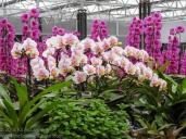 20180423-Veggie_Fair-Orchids-04
