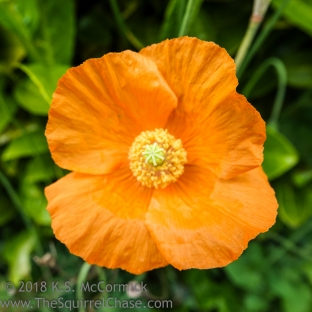KSM-20180517-California_Poppy-01