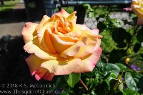 KSM-20180521-Rose-01