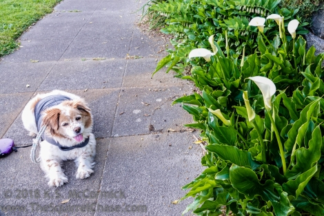 Ginger waiting patiently while I take pictures of flowers.