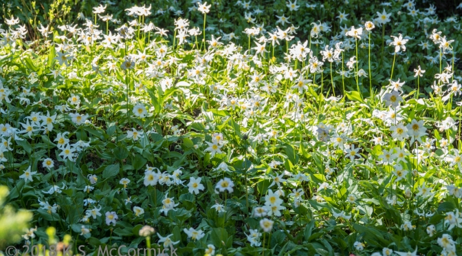 Delicate strength: Avalanche Lilies