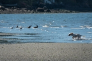 20180925-Puppy_on_beach-03
