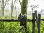 Monkeys on the fence at Lake Nakuru