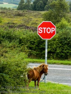 Irish pony and stop sign.