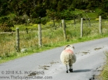 Sheep on a country road in Ireland.