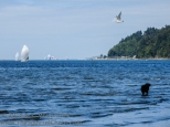 Sail boats, seagull and dog enjoying Puget Sound.