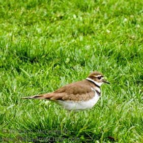 Killdeer.