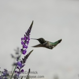 Hummingbird, probably Anna's.