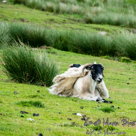 Sheep with its fleece being blown by the wind.