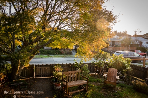 Adirondack chair and porch glider under a Japanese mople tree turning gold for fall.